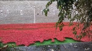 world war one,poppies,